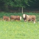 Schwaerzloch-Bauernhof-Kuehe-04