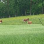 Schwaerzloch-Bauernhof-Kuehe-05